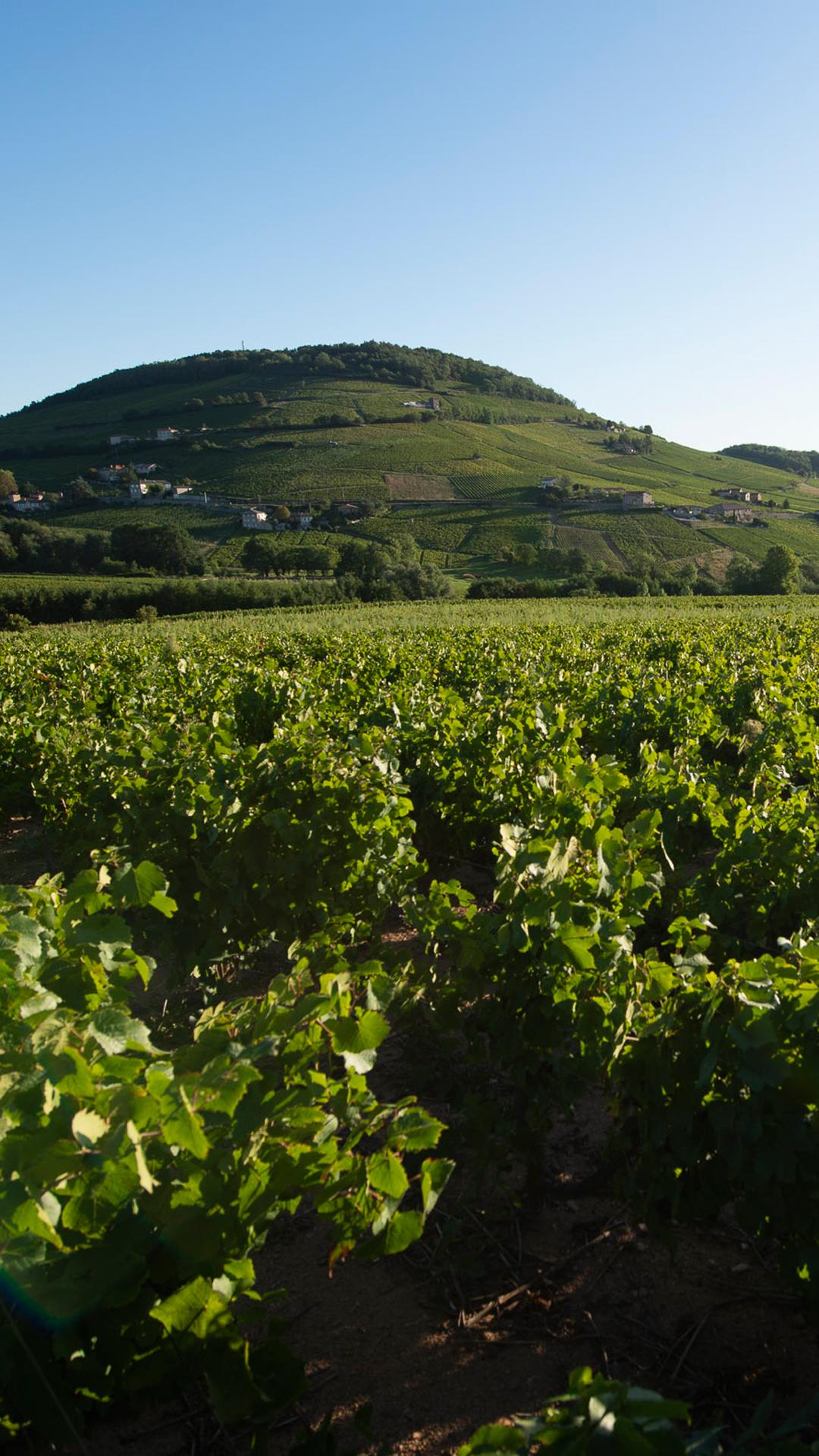 Vignes du Beaujolais devant le Mont Brouilly